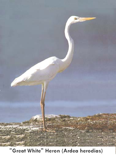 White herring bird - photo#4