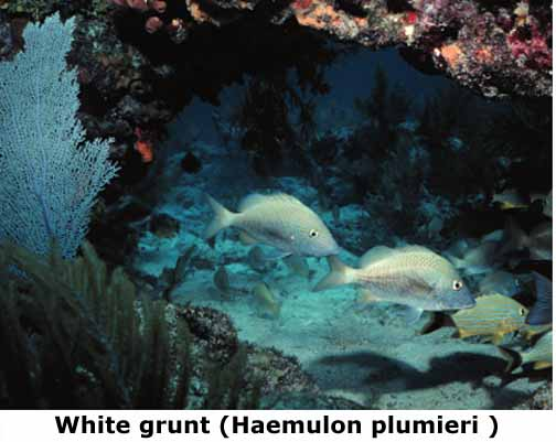 Florida coral reef for Whiting fish florida
